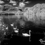 swans-3024
